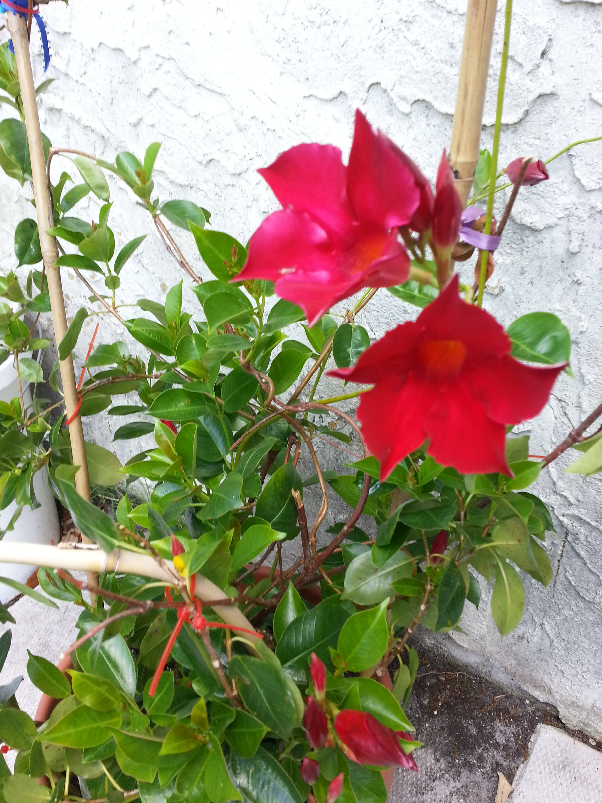 Growing Mandevilla: Battle Of Mandevilla And The Case Of The Missing Loquats