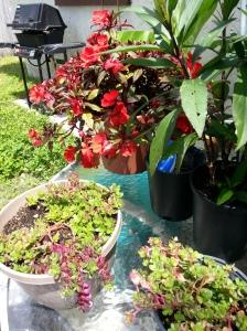 New Guinea Impatience  purslane & Mexican Petunia