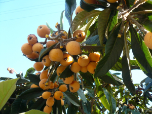 Tree with loquats